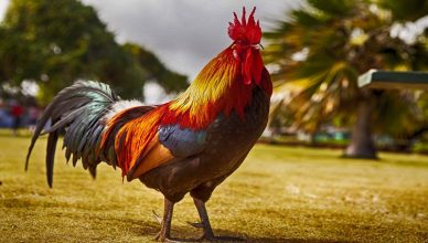 what does a rooster say
